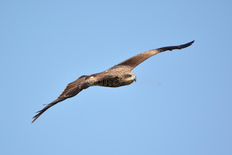 Hawk flying stock images