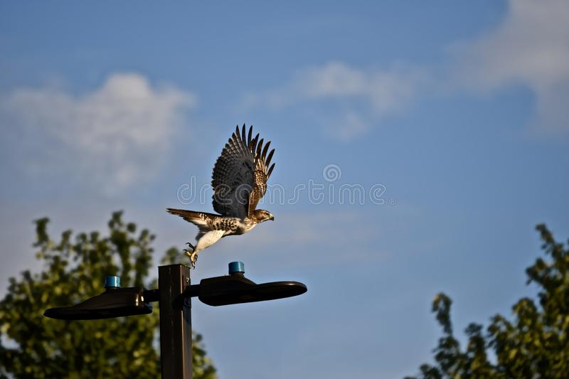 Hawk flying from a street lamp with trees on the blurry background under a blue sky. A hawk flying from a street lamp with trees on the blurry background under a stock photos