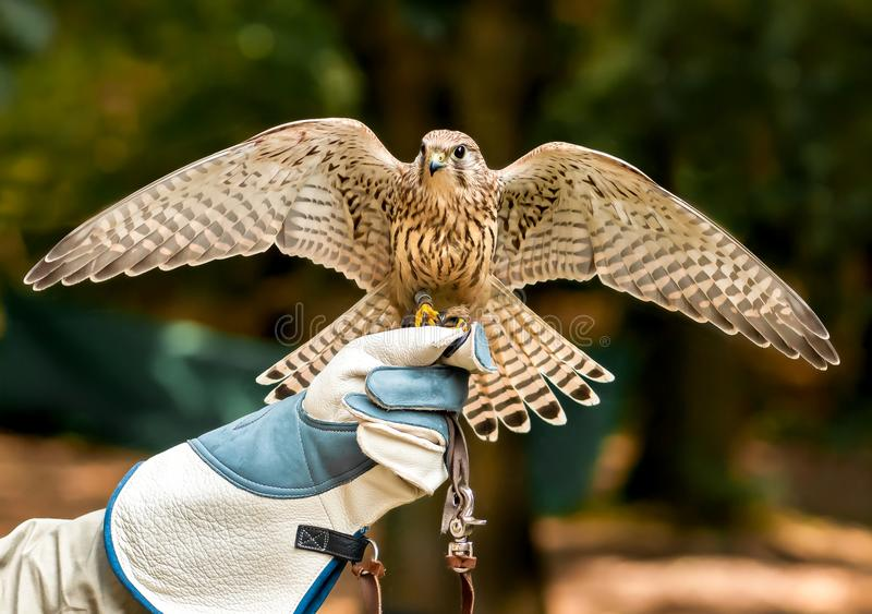 Hawk on handlers hand with open wings royalty free stock images