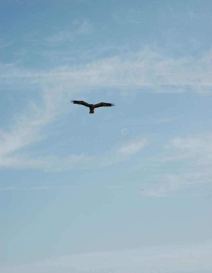 A hawk hovering against a blue sky stock images