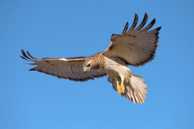 Hawk Hovering In Flight Vermelho-atado imagens de stock