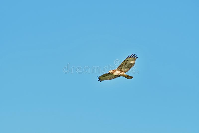 A Hawk Hovering. At mid air searching for prey stock images