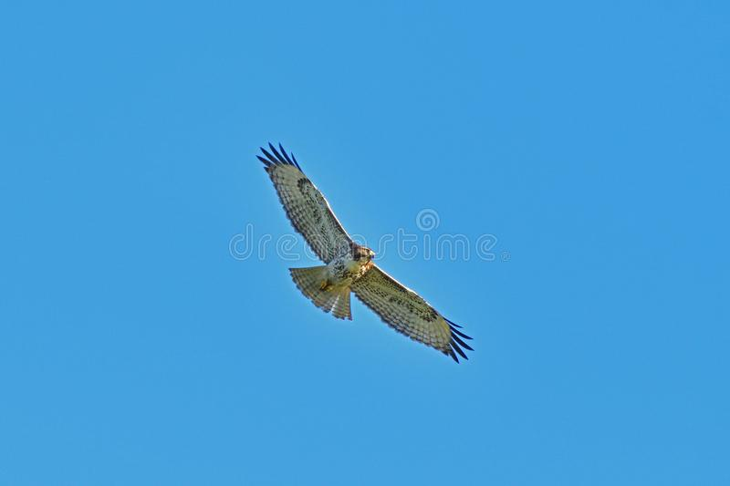 A Hawk Hovering. At mid air searching for prey in the bush royalty free stock photography