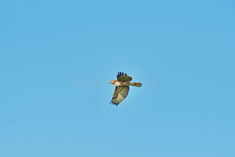 A Hawk Flying Away stock photos