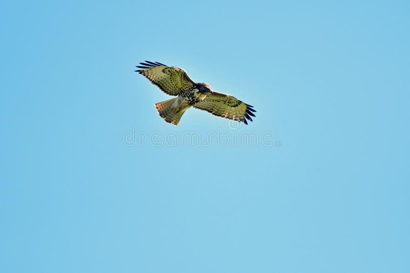 A Hawk Hovering Mid-Air to spot prey royalty free stock photo