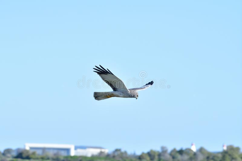 A Hawk in the Flight stock images