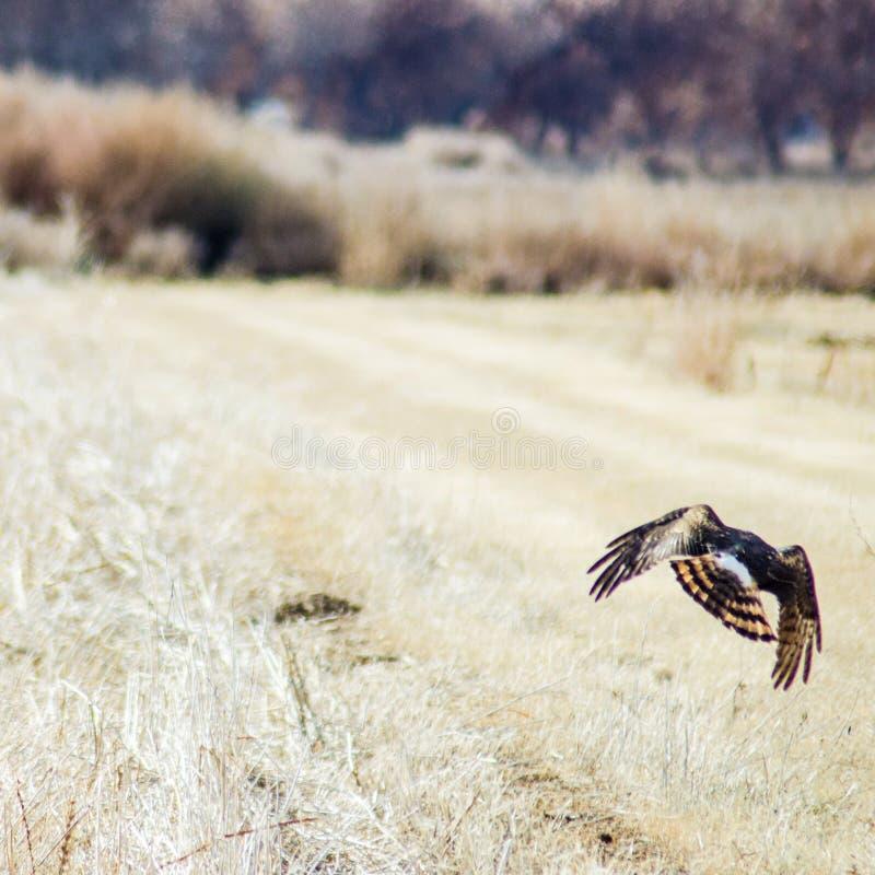 Hawk Hunting dans la réserve de Bosque del Apache photo libre de droits