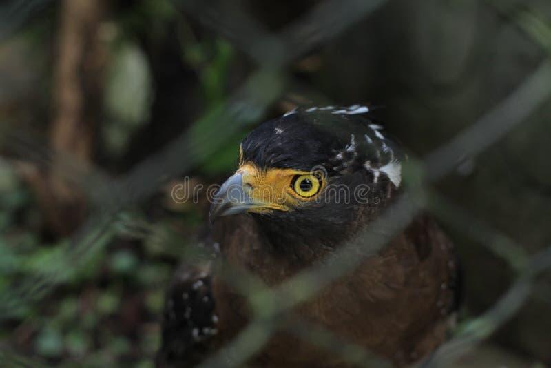 Hawk. Javan hawk hunt prey stock photography