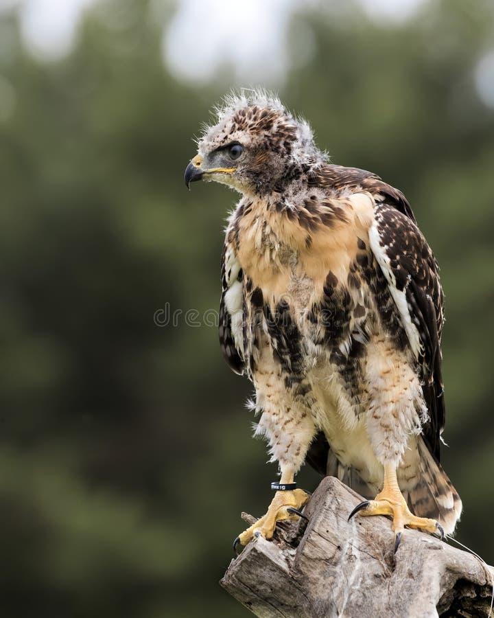 Hawk Juvenile coupé la queue par rouge photos stock