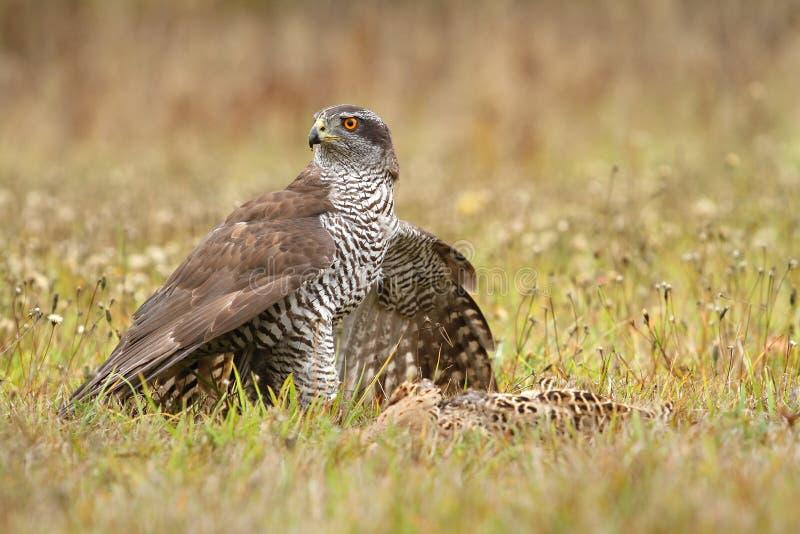 Hawk killed pheasant stock photo