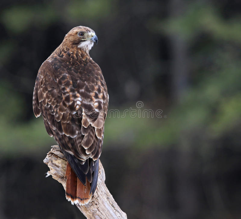 Hawk Looking Back Vermelho-atado foto de stock