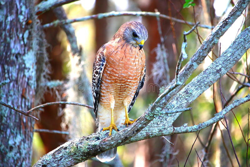 Hawk looking for prey stock photo
