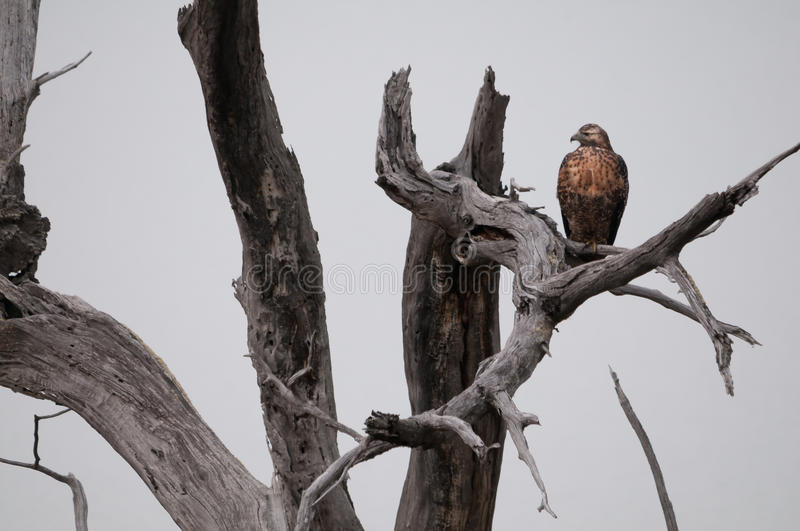 Download Hawk Lurking Stock Photography - Image: 32533972