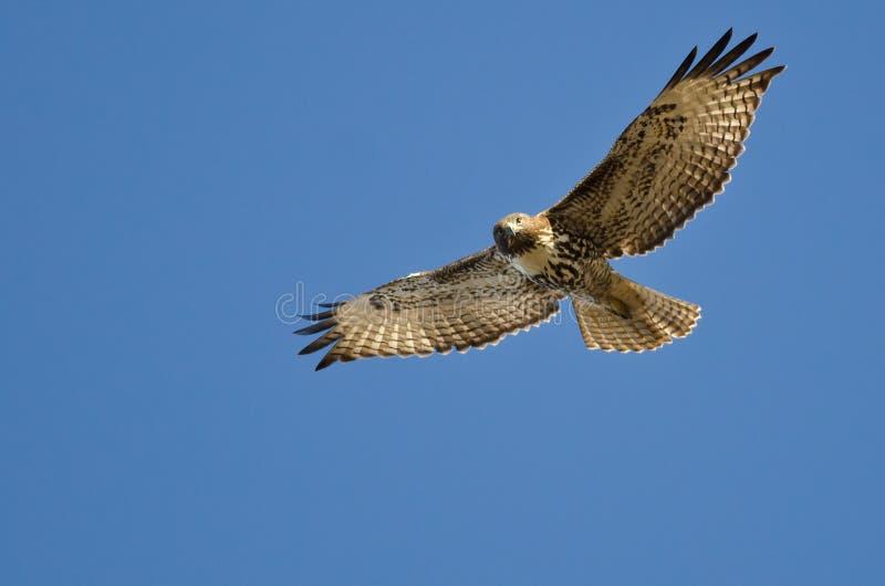 Hawk Making Eye Contact As Rouge-coupé la queue il Flys photos libres de droits