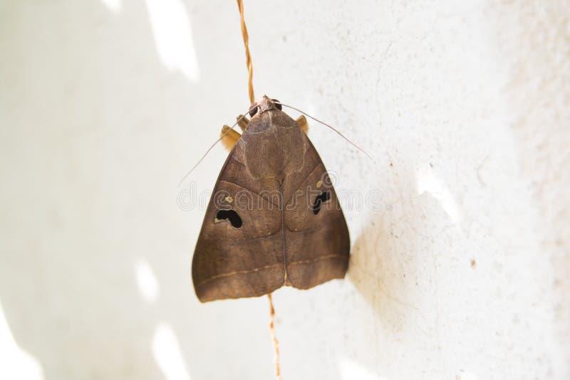 Hawk Moth arkivbild