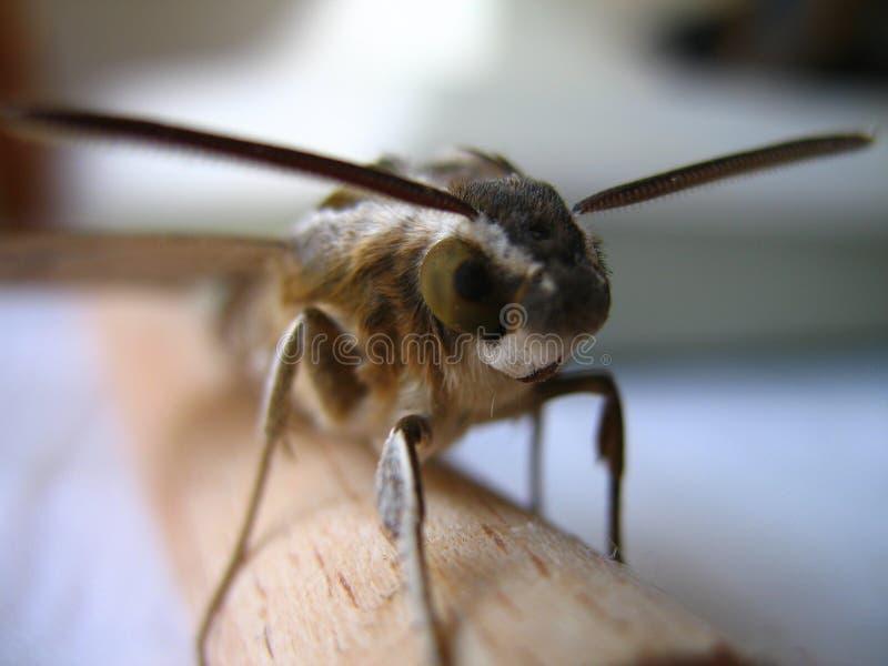 Hawk-moth royalty free stock photo