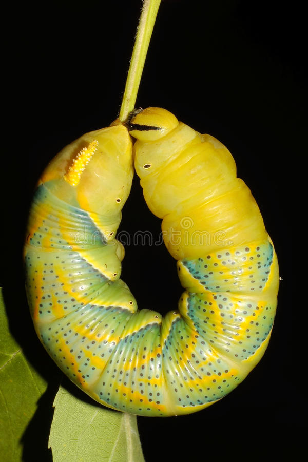 Free Hawk-moth (Death S-head) / Acherontia Atropos Royalty Free Stock Photo - 15873445
