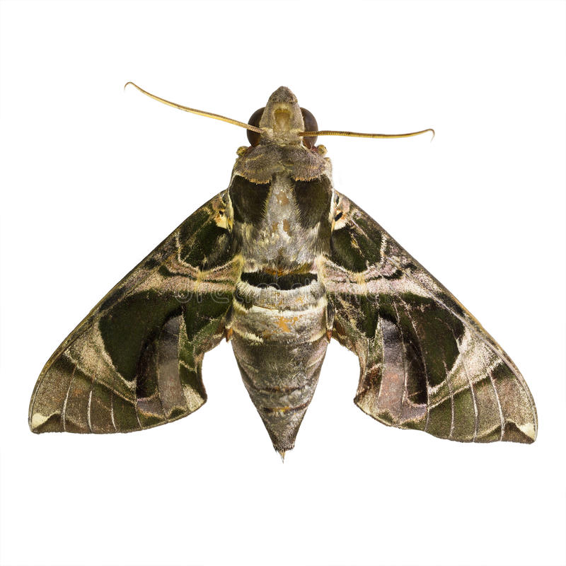 Hawk Moths or Sphinx Moths. Hawk moths isolated on white background royalty free stock photography