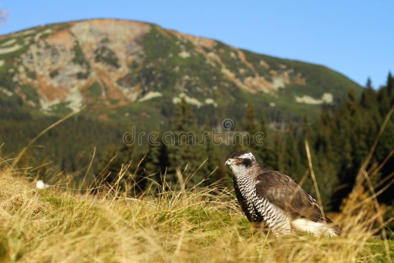 Hawk and mountain stock photos