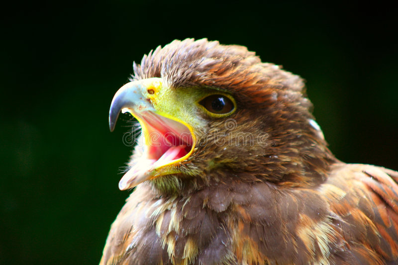 Hawk With Open Mouth stock image