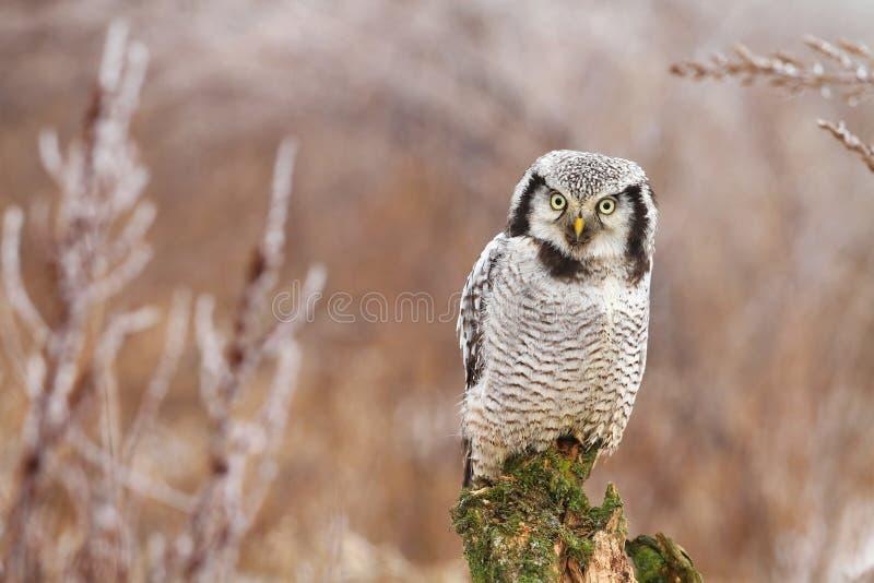 Hawk Owl arkivfoto