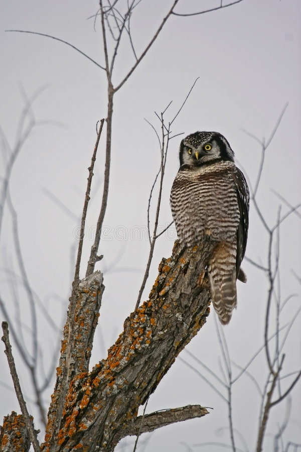 Hawk Owl royalty free stock photos