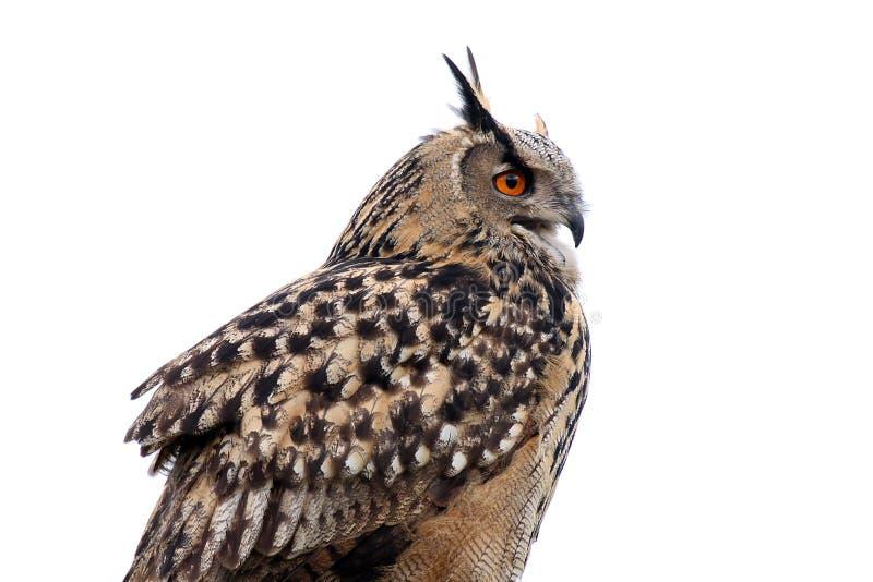 Hawk Owl stock photos