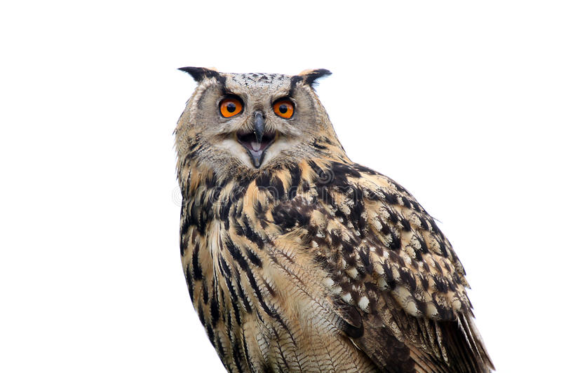 Download Hawk Owl stock photo. Image of funny, white, outdoors - 9602014