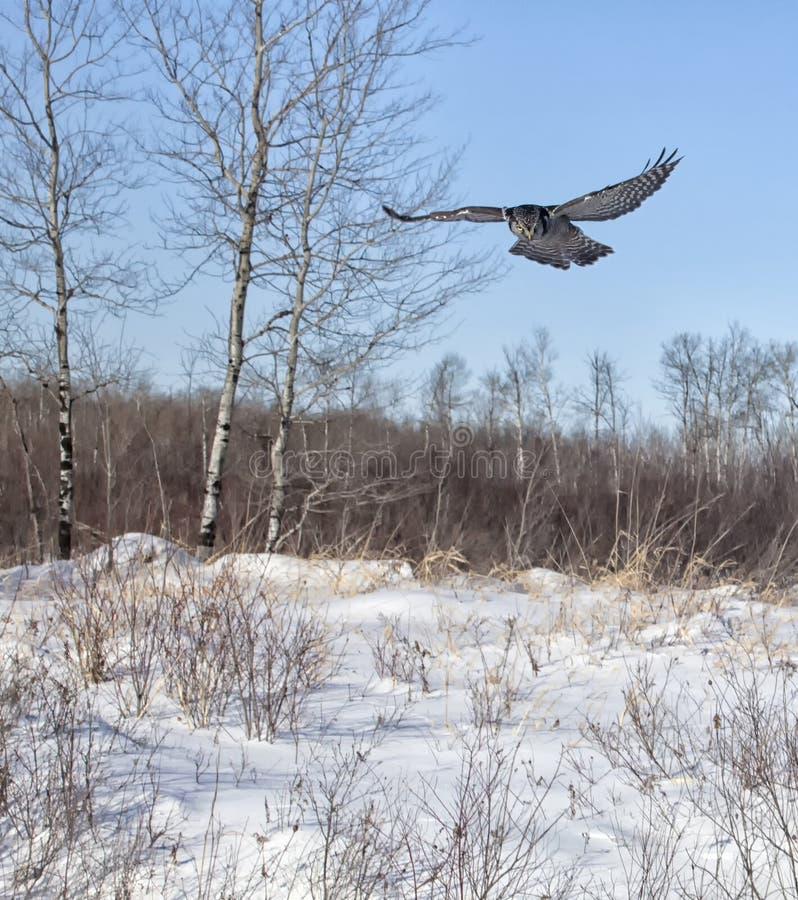 Hawk Owl do norte fotografia de stock