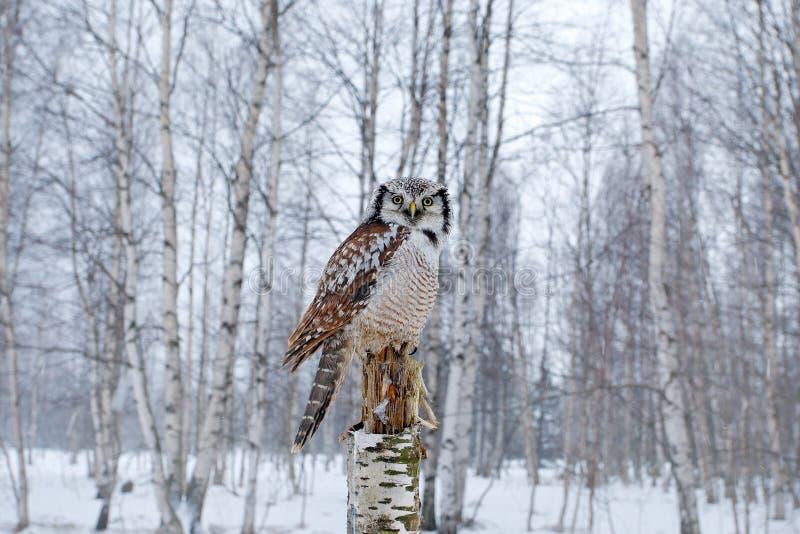 Hawk Owl i naturskoglivsmiljö under kall vinter Djurlivplats från naturen Skog för björkträd med fågeln Uggla snö Finland royaltyfri fotografi