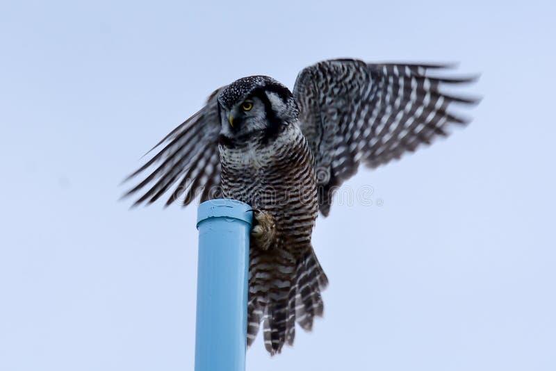 Hawk Owl Landing septentrional fotos de archivo libres de regalías