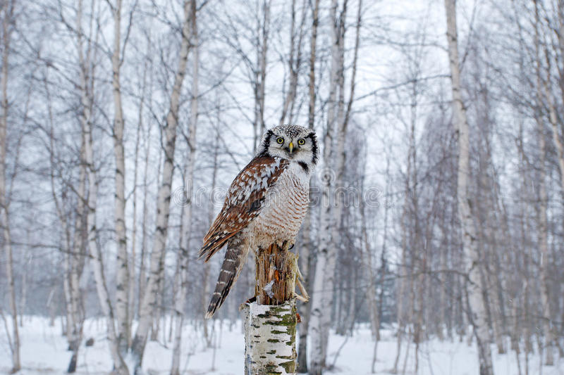 Hawk Owl in nature forest habitat during cold winter. Wildlife scene from nature. Birch tree forest with bird. Owl, snow Finland. Hawk Owl in nature forest royalty free stock photography