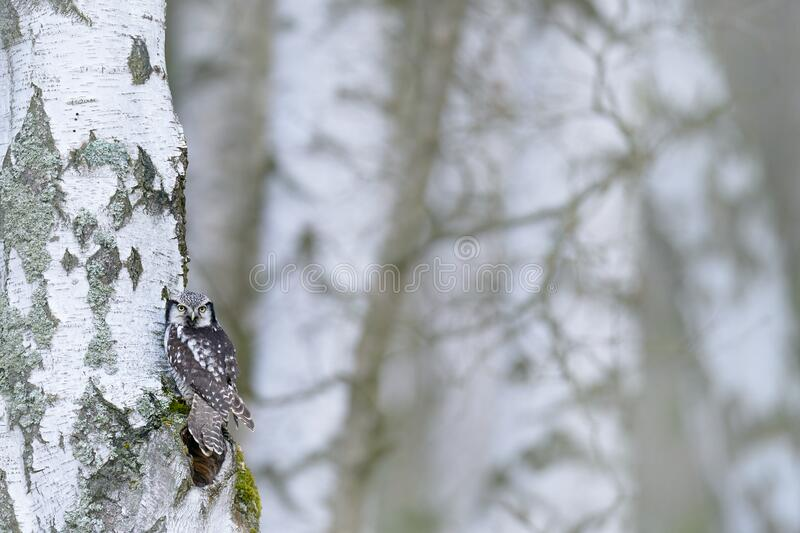 Hawk Owl in nature forest habitat, white birch tree, during cold winter. Wildlife scene from nature.  Nature of north Europe. Snowy winter scene with hawk owl stock images