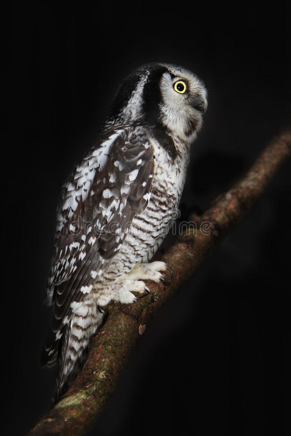 Hawk Owl on black royalty free stock images