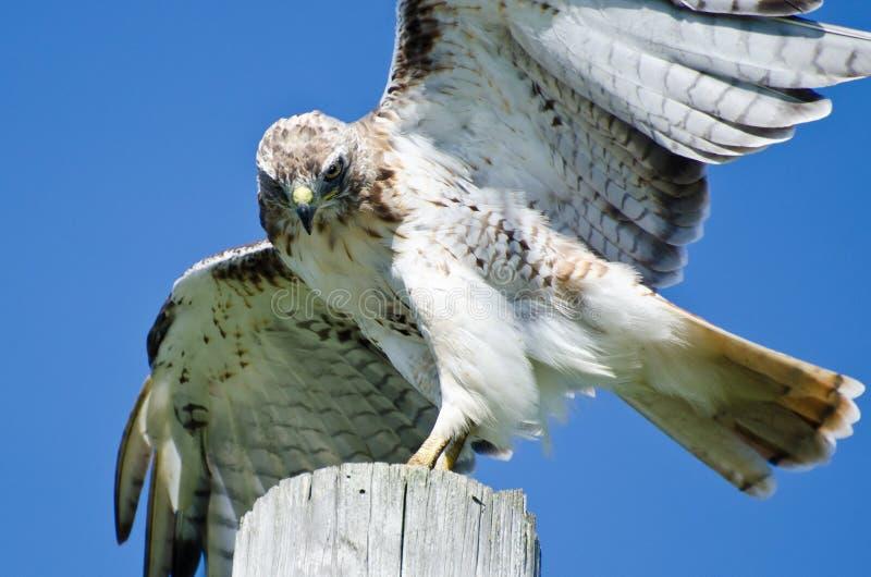 Hawk Peering Rouge-coupé la queue à la proie photos stock