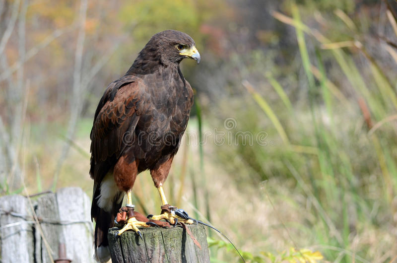 Download Hawk Perch stock image. Image of focus, determined, feathers - 35331677
