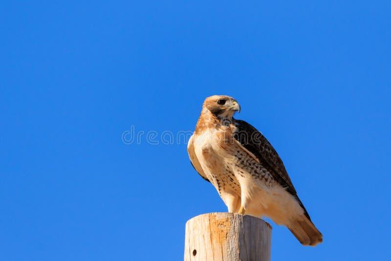 Hawk Perched coupé la queue par rouge photo libre de droits