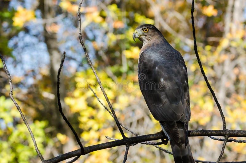 Hawk Perched du tonnelier dans Autumn Tree photos libres de droits