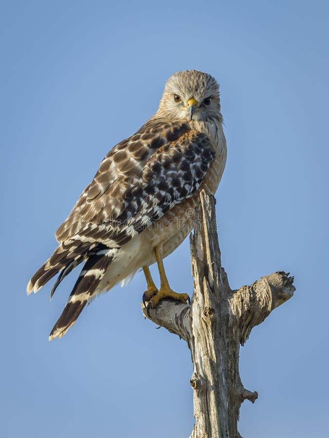 Hawk Perched Rojo-llevado a hombros en un árbol muerto fotos de archivo