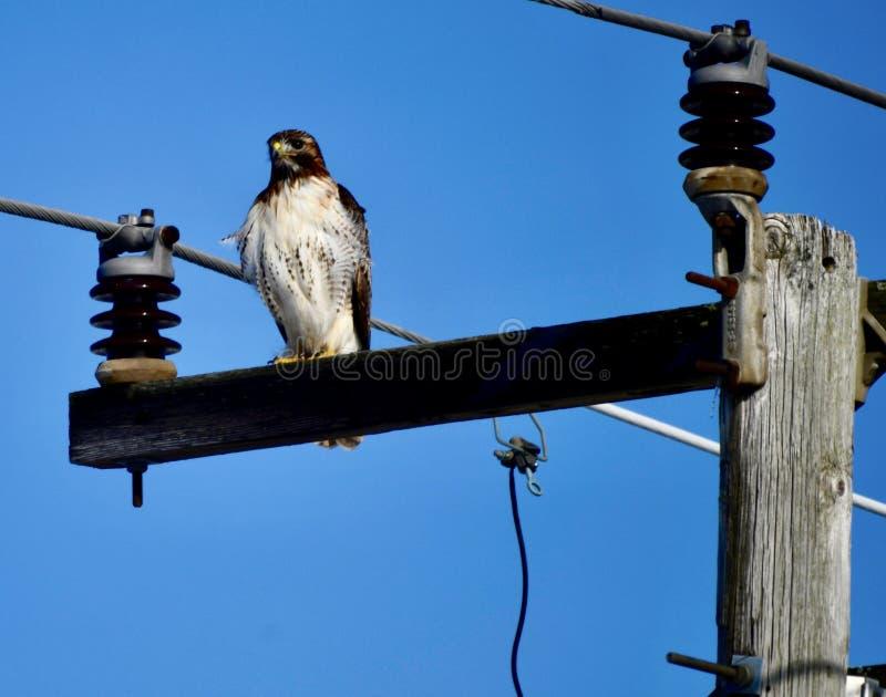 Hawk Perched Rouge-coupé la queue sur une puissance Polonais photographie stock libre de droits