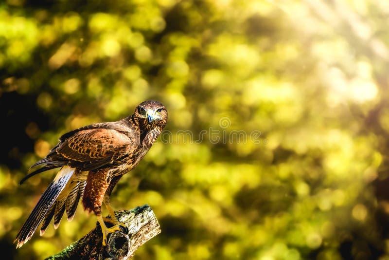 Hawk Perched selvaggio sul ceppo che vi esamina fotografie stock