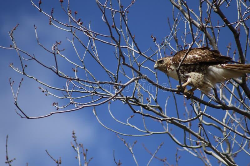 Hawk Perched Vermelho-atado nas árvores fotos de stock royalty free