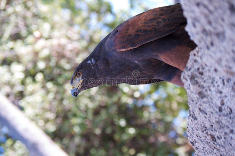 Hawk Perched voor Vlucht stock foto
