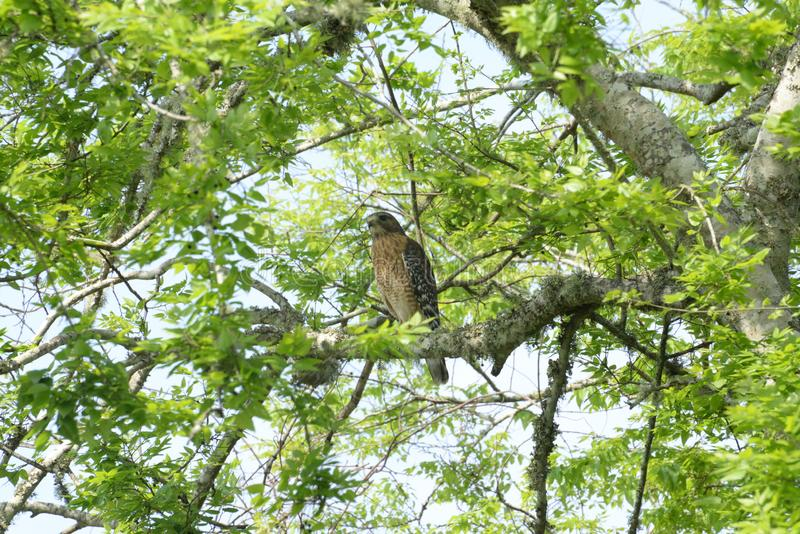 The Red Shouldered Hawk sits next to a nest of smaller birds while looking for prey. The Hawk perches on the thick tree limb while eying the person below stock photos