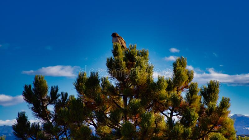 Hawk in Ponderosa Pine. Sunny December day with a hawk looking for food. Highline Lake State Park in Western Colorado is fine for outdoor recreation and wildlife stock photo