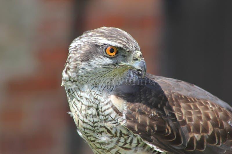 Hawk Portrait Free Public Domain Cc0 Image