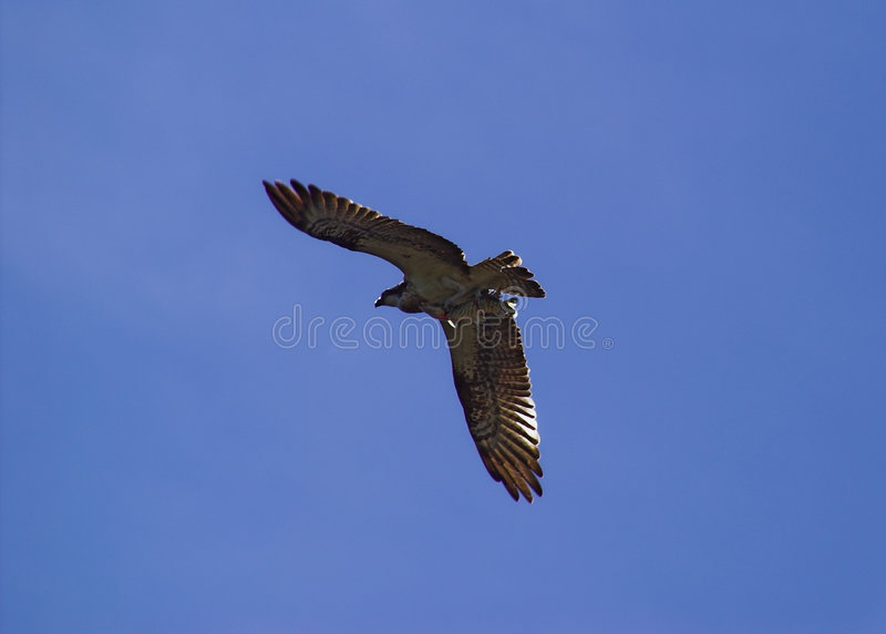Hawk with prey. A hawk flying away with a fish stock image