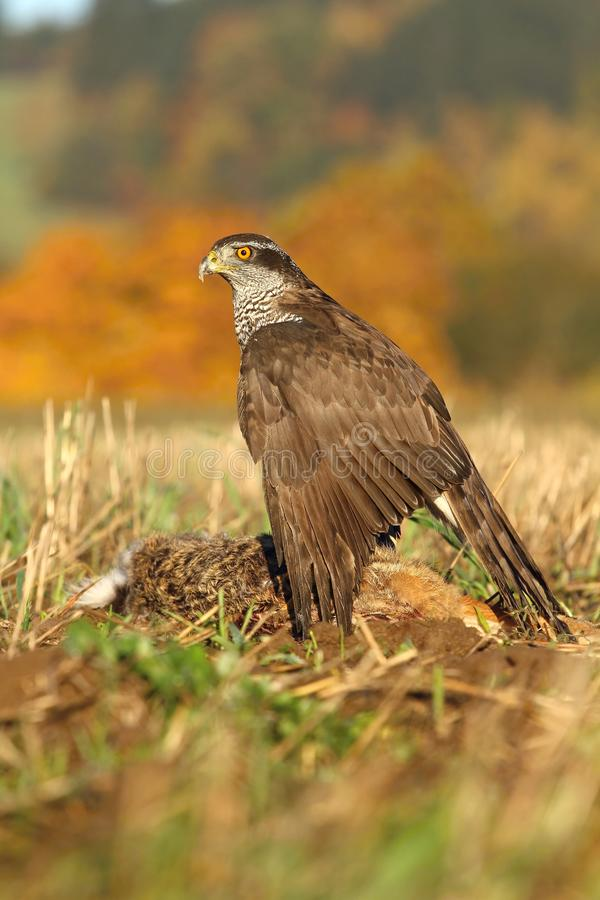 Hawk with rabbit stock photography