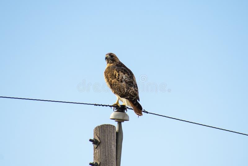 Hawk Resting Atop coupé la queue rouge un Polonais de service photo stock