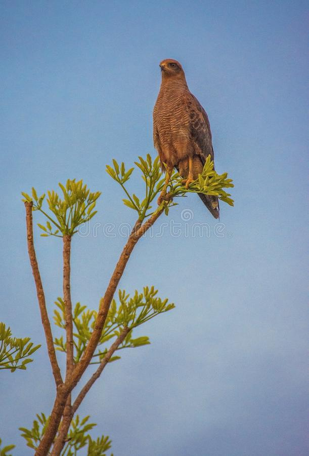 Hawk Resting on the Tree royalty free stock image